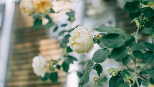 imponujące róże pnące